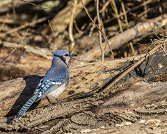 Blue Jay (will139) Tags: