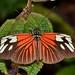 Heliconius erato amazona