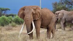 Tim and nephew Craig (Nagarjun) Tags: tusker elephant africa kenya amboselinationalpark animal safari wildlife game