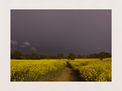 Approaching storm (hall1705) Tags: landacape oilseed yellow rainclouds stormsbrewing phoneography mobilephone samsung outdoor nature crops