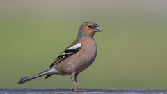 Chaffinch (JS_71) Tags: nature wildlife nikon photography outdoor 500mm bird new spring see natur pose moment outside animal flickr colour poland sunshine beak feather nikkor d500 wildbirds planet global national wing eye watcher