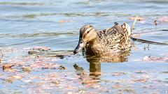 *** (Yuriy Kuzmenok) Tags: птицы птица природа утки утка кряква