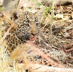 Wildlife in Botswana - Delta of Okavango - Abu Concession - Three-month old leopard cub (lotusblancphotography) Tags: africa afrique botswana okavango nature wildlife faune animal leopard safari léopard cub