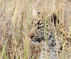 Wildlife in Botswana - Delta of Okavango - Abu Concession - Three-month old leopard cub (lotusblancphotography) Tags: africa afrique botswana okavango nature wildlife faune animal leopard safari léopard cub