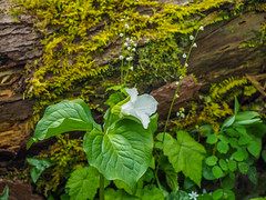Trillium and Bishops Cap, Great Smoky Mountains National Park, Tennessee (netbros) Tags: greatsmokymountainsnationalpark tennessee schoolhousegaptrail whiteoaksink trillium bishopscap netbros internetbrothers