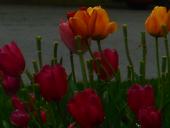 DSCN5849 (tombrewster6154) Tags: reddish orange tulips fiery colors friday second week april 2019 mmxix wet dripping with water h2o street level photography picture photograph stunning striking gorgeous lovely green stems spring scenery flowers greensboro northcarolina
