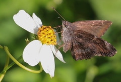 Mimosa Skipper (peterkelly) Tags: digital canon 6d northamerica gadventures mayandiscovery palenque palenquenationalpark butterfly mimosaskipper cogiacalchas flower chiapas
