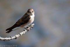 Rough-winged Swallow II (jwfuqua-photography) Tags: newbritain birds nature swallows peacevalleynaturecenter pennsylvania jerrywfuqua northernroughwingedswallow buckscountyparks buckscounty jwfuquaphotography
