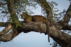 Leopard watching you (olafrudiger) Tags: africa leopard wildlife serengeti
