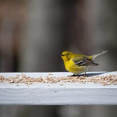 Pine Warbler (jtr27) Tags: dscf6316xl jtr27 fuji fujifilm xt20 nikon nikkor 300mm f45 edif ifed manualfocus yellow warbler newhampshire nh newengland