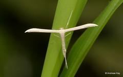 Plume moth, Pterophoridae (In Memoriam: Ecuador Megadiverso) Tags: andreaskay citynaturechallenge ecuador featherwingmoth moth plumemoth pterophoridae tena