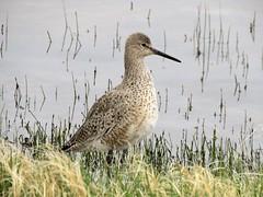 Willet (Patricia Henschen) Tags: headquarters pond chicobasinranch ranch rural shorebird bird willet wetland migration