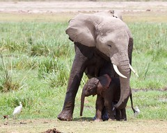 Affection (Nagarjun) Tags: elephant calf amboselinationalpark kenya africa