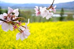 菜の花公園 - Canola Flower