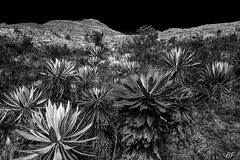 Frailejones!Endemis plant Colombie (poupette1957) Tags: atmosphère black canon curious detail deco grandangle imagesingulières landscape monochrome noiretblanc noir nature photographie street travel voyage view frailejonjes paramo colombie