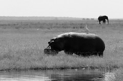 Chobe National Park, BOTSWANA (brun@x - Africa Wildlife) Tags: 2019 bruno portier brunoportier chobe botswana national park chobenationalpark mammifères wild wildlife african africa afrique big5