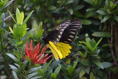 BRN19-0172j (ianh3000) Tags: sarawak malaysia cultural village birdwing butterfly insect kuching borneo