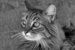 Schizzo in grigio (RoLiXiA) Tags: sardegna sardinia sardaigne sardinien cerdeña gatto gattoeuropeo soriano micio feliscatus biancoenero nikond7200 nikon18200 blackandwhite felino