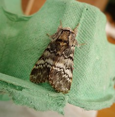 Lunar Marbled Brown (gailhampshire) Tags: lunar marbled brown