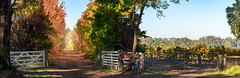 Autumnal Driveway (JChipchase) Tags: winery autumn morning colours leaves trees countryside australia nikon d750 panorama