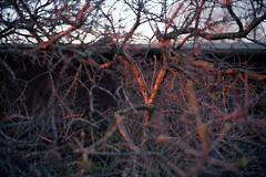 Sundown (C H R S T P H) Tags: leica cl analog kodakektar100 voigtländernokton40mm nokton 114 hiddensee sundown sonnenuntergang bush busch abendsonne epsonperfectionv750pro