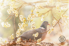 wood pigeon standing behind willow flowers branches (Geert Weggen) Tags: branch male animal balance bird body bright closeup cute eye hiding humor leaf flower ground daffodil dove pigeon woodpigeon willow pussywillow bispgården jämtland sweden geert weggen hardeko ragunda