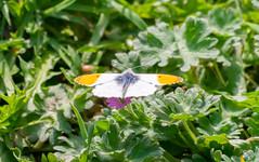 DSC_0104 (T. Desmet) Tags: butterfly vlinder oranjetipje