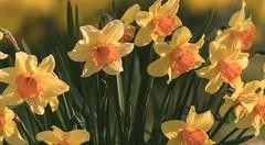 Daffodils. (Alex-de-Haas) Tags: 300mm adobelightroom annapaulowna d5 dutch europa europe hoenderdaell holland nederland nederlands netherlands nikkor nikkor300mm nikon nikond5 noordholland bloem bloemen daffodil daffodils dierenpark dierentuin estate flower flowers geel landgoed lente narcis narcissen nature natuur park spring yellow zoo