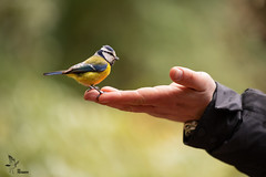 Blue Tit (Asa-Photography) Tags: nikon d850 blue tit bird hand human fauna forest wildlife wildlifephotography nature naturephotgraphy nikond850 wild world winter birds birding bokeh green