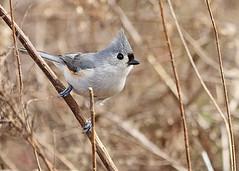 Tufted Titmouse (hennessy.barb) Tags: tuftedtitmouse titmouse baeolophusbicolor bird nature wildlife alert perky