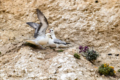 Seagulls (philbarnes4) Tags: bird gull seagull cliff chalk nest confrontation broadstairs thanet kent england nikon nikond5500