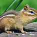 Tamias striatus (eastern chipmunk) (Newark, Ohio, USA)