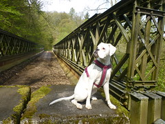 Boxer on the bridge (Jackal1) Tags: boxer dog canine whiteboxer bridge abandonedbridge pet