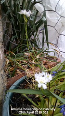 Alliums flowering on balcony 29th April 2019 002 (D@viD_2.011) Tags: alliums flowering balcony 29th april 2019