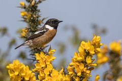 Stonechat (cliveyjones) Tags: stonechat gorse kellingheath norfolk