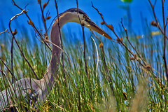 Hiden Heron (joecrowaz) Tags: heron birds water arizona prescott watsonlake