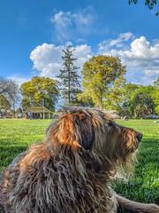 20190429 pogo at wallace park spring BIG IMG_20190429_170643 (maxrockbin) Tags: dog wallacepark pogo spring