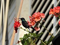 Палестинская нектарница, самец (лат. Cinnyris oseus) (unicorn7unicorn) Tags: птица цветы нектарница wah colorfulnature
