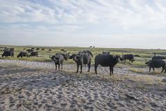 DSC_3085_1 (Marshen) Tags: capebuffalo botswana