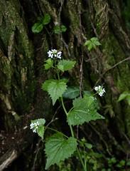 Great Parks Photo Walk: Withrow Nature Preserve (emeagen) Tags: ohio cincinnati wildflower garlicmustard d500 nikon
