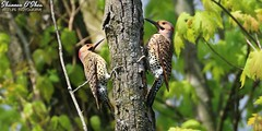 Double bill (Shannon Rose O'Shea) Tags: shannonroseoshea shannonosheawildlifephotography shannonoshea shannon flicker flickers northernflicker northernflickers woodpecker woodpeckers birds beaks feathers wings tree branches leaves birdyfeet bills colorful colourful outdoors outdoor outside wildwoodlake harrisburg pennsylvania dauphincounty art photo photography photograph wild wildlifephotography wildlifephotographer wildlifephotograph camera femalephotographer girlphotographer womanphotographer shootlikeagirl shootwithacamera throughherlens flickr wwwflickrcomphotosshannonroseoshea smugmug nature wildlife canon canoneos80d canon80d canon100400mm14556lisiiusm eos80d eos 80d canon80d100400mmusmii 2019 birdphotographer naturephotographer 80dbird 80dbirds bokeh two double doublebill colaptesauratus male yellowshafted mustache