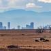 Bison - Rocky Mountain Arsenal Nation Wildlife Refuge - Denver, Colorado