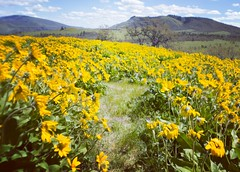 the hills are alive with... (bretwinklerphotos) Tags: wildflowers hillside hiking oregon arrowleafbalsamroot