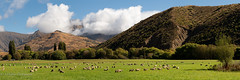 Iconic South Island (OJeffrey Photography) Tags: sheep mountains bluesky clouds green grass field panorama pano flock southisland newzealand iconic ojeffreyphotography ojeffrey jeffowens nikon d850