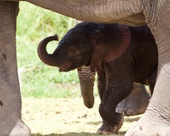 Elephant calf (Nagarjun) Tags: elephant calf baby animal safari wildlife amboselinationalpark kenya africa mamma mother