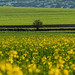 Small tree at yellow rapeseed field