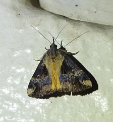 Dichromia quinqualis (Cephonodes) Tags: australian moths hypeninae