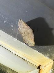 Rhesala sp. ANIC2 (Cephonodes) Tags: moths australian catocalinae