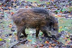 Wildschwein (anubishubi) Tags: nikond60 säuger säugetier schwein pig frischling wildboar wildschwein