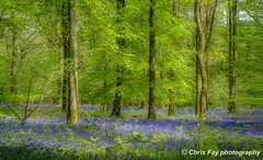 BLUEBELLS (chrisfay55) Tags: woods forest bluebells uk england hampshire trees